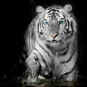 Fekete  fehér tigris
