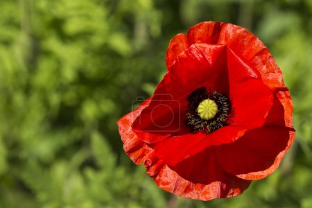 Close up of a poppy flower on a bright sunny day