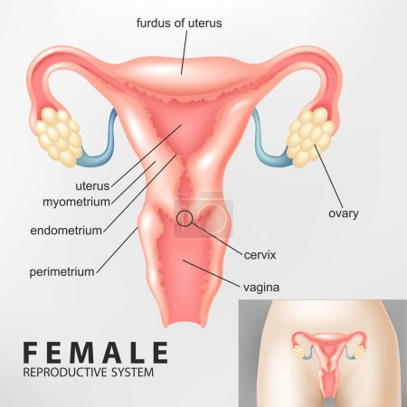 Illustration Of Diagram of Female reproductive sys...