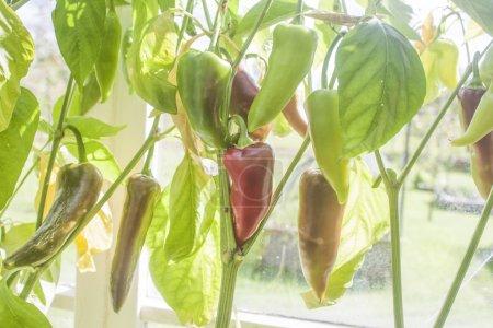 Foto de Un invernadero lleno de pimientos deliciosos, verdes y rojos - Imagen libre de derechos