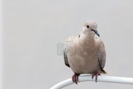Photo pour Une tourterelle grise se reposant et regardant avec curiosité - image libre de droit