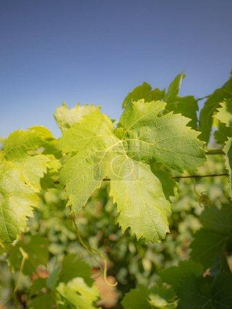 Photo pour Vignobles de Carignano et Cannonau vin, Santadi, sud de la Sardaigne - image libre de droit