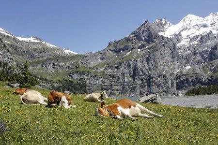 Photo pour Vaches se reposant dans les Alpes suisses un jour d'été, avec des montagnes à l'arrière-plan. - image libre de droit