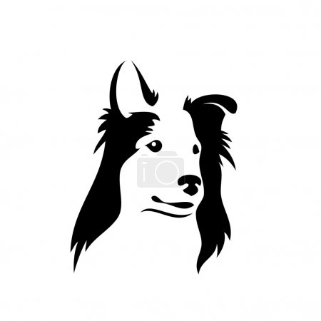 Collie dog on white