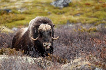 Musk ox in Dovrjefell, Norway