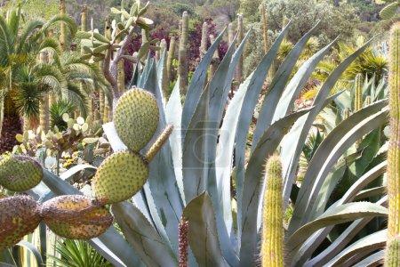 Blue agave tequila landscape in the botanical garden in Lloret de Mar, Spain.