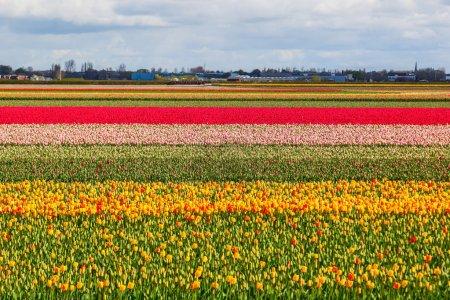 Photo pour Champ coloré avec tulipes près de Lisse, Pays-Bas - image libre de droit