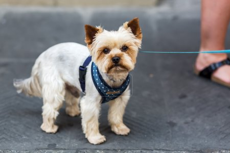 Yorkshire Terrier in the city