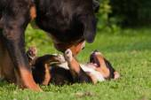 Greater Swiss mountain dog mother and child playing intimate together
