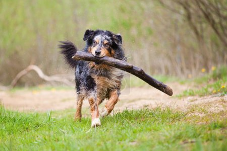 Wet Australian Shepherd dog running with a big branch