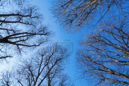 Photo pour Auvent d'arbre sans feuilles contre le ciel bleu - image libre de droit