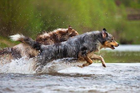 Two Australian Shepherd dogs running through the water of a creek