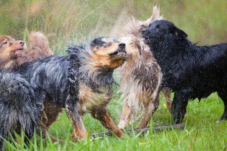 Australian Shepherd dogs shaking themselves after having a bath