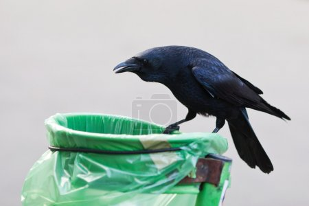 Crow sits on a dustbin