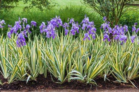 Iris flower border