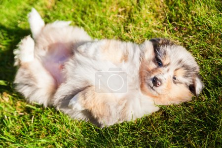 Photo pour Mignon chiot Collie couché sur l'herbe verte - image libre de droit