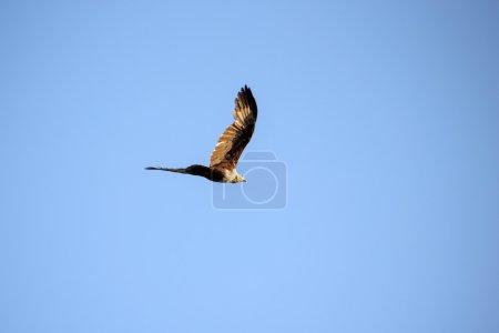 Brahminy Kite, in flight