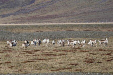 Reindeers, Iceland