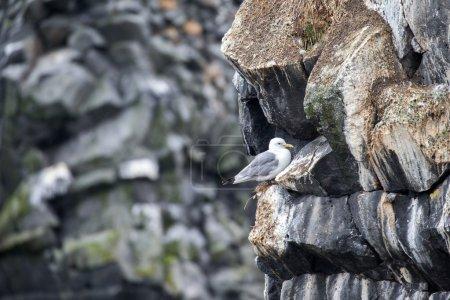 Herring seagull, Iceland