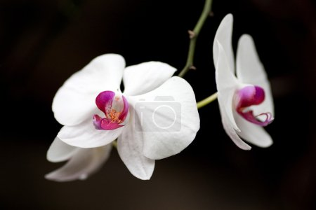 Photo for Orchid flower in full bloom close-up view - Royalty Free Image