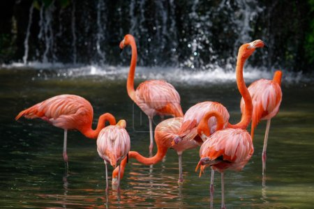 Flock of red Caribbean flamingo
