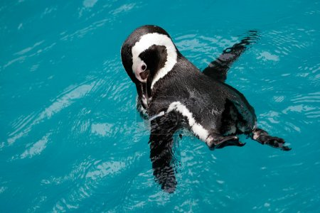 Penguin swimming in the pool