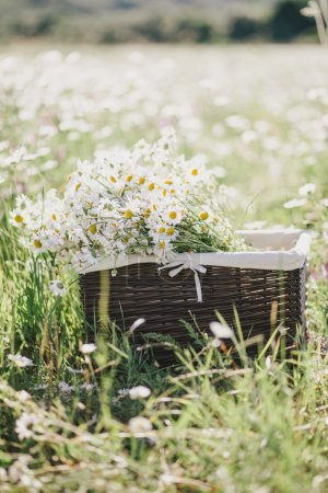 Photo for Chamomiles in a basket standing in a chamomile field in summer - Royalty Free Image
