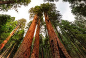 Giant sequoia trees closeup
