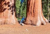 Teenager next to Giant sequoia trees