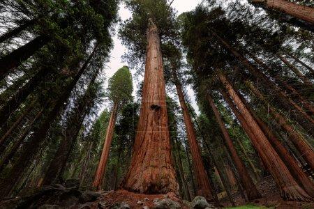 Photo pour Forêt de séquoia géant dans le Sequoia National Park, Californie - image libre de droit