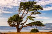 Big green tree on the California coast