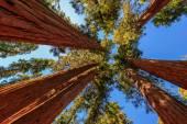 Giant tree closeup in Sequoia National Park, California