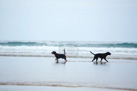 Beautiful black dogs on beach walk