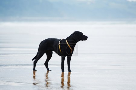 Beautiful and strong labrador on the beach
