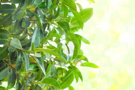 Photo for Many green leaves like rubber plant, background - Royalty Free Image