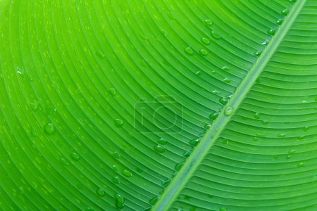 close up banana leaf and water drop texture