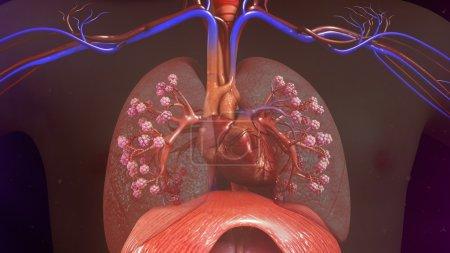 Photo pour Poumons humains avec le coeur. illustration 3D - image libre de droit