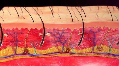 Photo pour Anatomie de la peau humaine, illustration 3d - image libre de droit