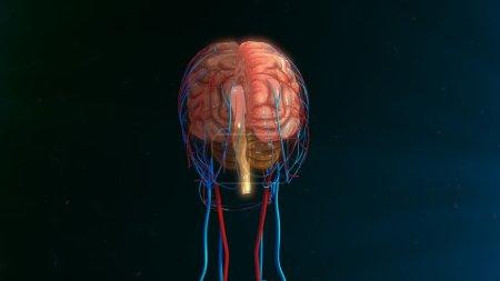 Photo pour Anatomie du cerveau humain. illustration 3D - image libre de droit