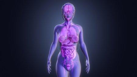 Photo pour Anatomie des organes humains. Illustration 3d - image libre de droit