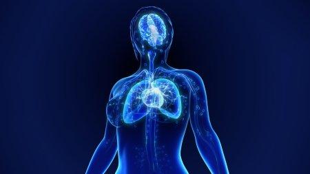 human organs anatomy