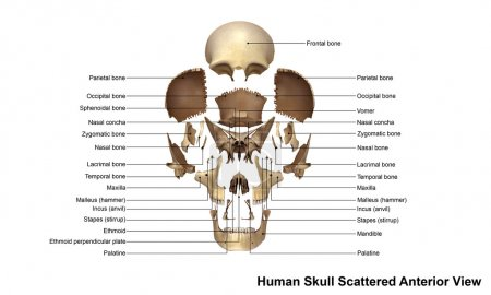 human skull anterior view