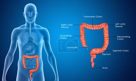 Photo pour Le gros intestin est la dernière partie du système digestif chez les animaux vertébrés. Sa fonction est d'absorber l'eau du corps de la matière, puis de passer les déchets inutiles du corps . - image libre de droit