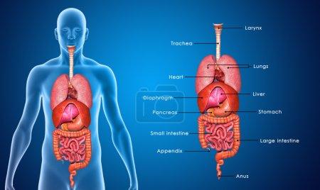 Photo pour Un organe est une collection de tissus réunis dans une unité structurelle pour remplir une fonction commune. Dans l'anatomie, un viscus ou vXosk/s ou est un organe interne, et les viscères est la forme plurielle . - image libre de droit