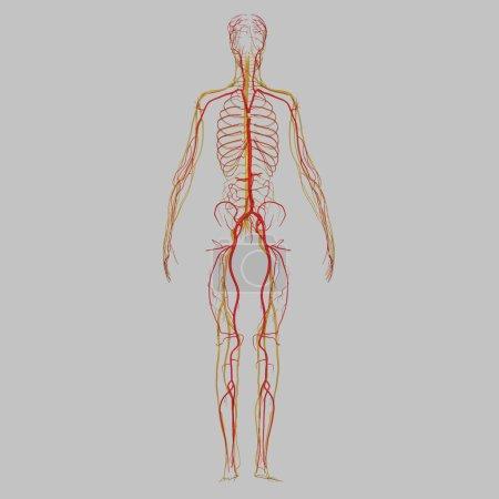 Photo pour Les nerfs sont une partie du système nerveux qu'ils transportent les influx nerveux. Les artères sont les vaisseaux sanguins qui transportent le sang du cœur qu'ils transportent le sang oxygéné sauf l'artère pulmonaire. - image libre de droit