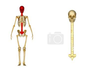 Back bone with skull