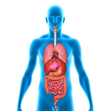 Photo pour Les organes sont composés de tissus principaux, de parenchyme et de tissus « sporadiques », stroma. - image libre de droit