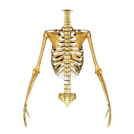 Photo pour La cage thoracique est un arrangement des os dans le thorax de tous les vertébrés sauf la lamproie. - image libre de droit