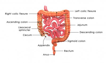 Intersection of large intestine