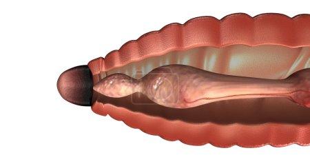 Earthworm anatomy